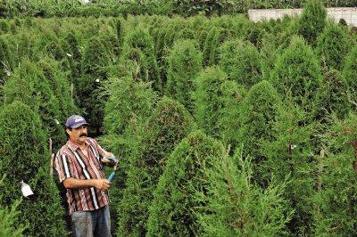 en arboleda castro le ofrecen gran variedad de rboles de ciprs herbert arley
